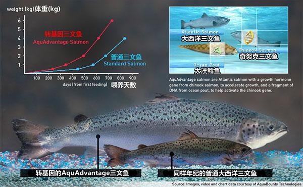 你敢吃转基因三文鱼吗?FDA将批准上市